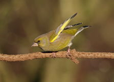 Greenfinch. Male Greenfinch at Calke Abbey,Derbyshire royalty free stock images