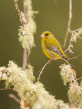 Greenfinch Stock Photography