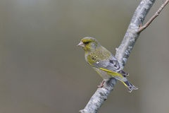 Greenfinch, male Royalty Free Stock Photo