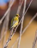Greenfinch maschio su un ramoscello Immagini Stock Libere da Diritti