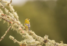 Greenfinch masculino Fotos de archivo libres de regalías