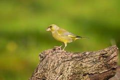 Greenfinch masculino Fotografia de Stock