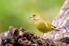 Greenfinch masculino Foto de Stock