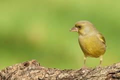 Greenfinch masculino Foto de Stock Royalty Free