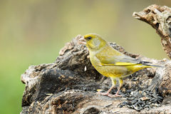 Greenfinch masculino Imagens de Stock Royalty Free