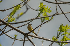 Greenfinch op de brunch Royalty-vrije Stock Afbeeldingen