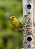 Greenfinch op vogelvoeder Stock Foto