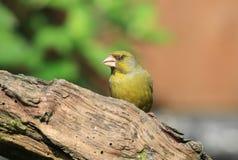 Greenfinch på en filial Arkivfoto