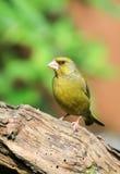 Greenfinch på en filial Royaltyfri Foto