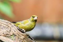 Greenfinch på en filial Royaltyfri Fotografi