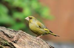Greenfinch på en filial Royaltyfria Foton