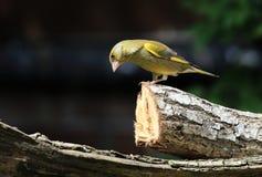 Greenfinch på en filial Arkivbilder