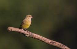 Greenfinch på filial Royaltyfri Foto