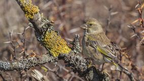 Greenfinch på Lichen Branch royaltyfria bilder