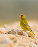 Greenfinch perching on stones Stock Photos