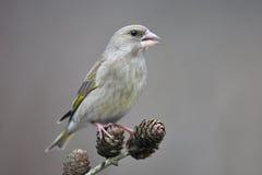 Greenfinch Stock Photos