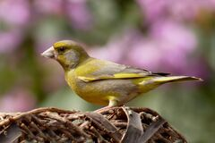 Greenfinch portrait