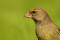 Greenfinch portrait Carduelis chloris. Very detailed portrait of female greenfinch Royalty Free Stock Photo