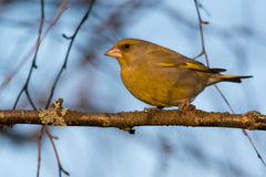 Greenfinch portrait. European Greenfinch profile in evening light Royalty Free Stock Image