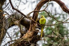 Greenfinch ptak na drzewie Obraz Stock