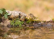 Greenfinch que bebe en la piscina con reflexiones Imagen de archivo