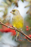 Greenfinch Stock Image