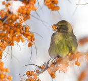Greenfinch on Sea-buckthorn. Greenfinch on the branch of Sea-buckthorn Royalty Free Stock Photography
