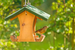 Greenfinch with seed feeder Royalty Free Stock Image
