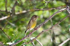 Greenfinch si siede sull'albero immagine stock libera da diritti