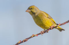 Greenfinch. Sitting on a branch stock image