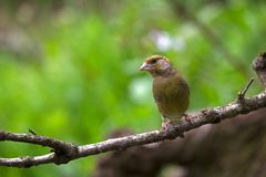 Greenfinch Royalty Free Stock Images