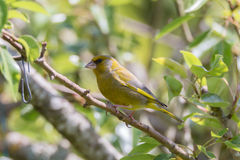 Greenfinch sitting on a branch. Greenfinch portrait in a tree Stock Images