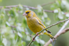 Greenfinch sitting on a branch. Greenfinch portrait in a tree Royalty Free Stock Image