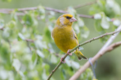 Greenfinch sitting on a branch. Greenfinch portrait in a tree Stock Photos