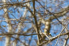 Greenfinch Stock Images