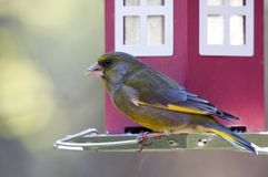 Greenfinch. Sitting and eating on feeder Royalty Free Stock Photos