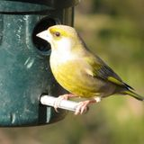 Greenfinch sitting on a feeder royalty free stock photos