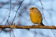 Greenfinch sjunga Fotografering för Bildbyråer