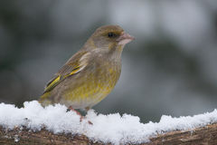 Greenfinch in the snow. Greenfinch sitting on a branch with snow Royalty Free Stock Photos