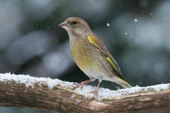 Greenfinch in the snow. Greenfinch sitting on a branch in the snow on a winterday Stock Photos