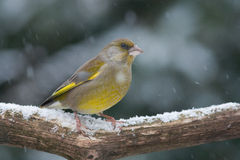 Greenfinch in the snow Stock Photos