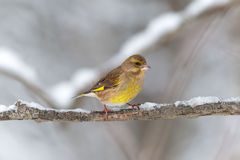 Greenfinch on a snowy branch Stock Image
