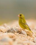 Greenfinch som sätta sig på stenar Arkivfoton