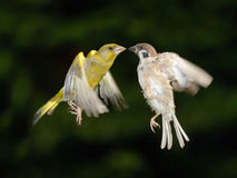Greenfinch and sparrow fighting in flight. Greenfinch (Carduelis chloris) and Tree sparrow (Passer montanus) fighting in flight royalty free stock image
