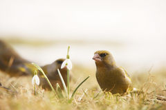 Greenfinch staring. At a flower Royalty Free Stock Photos