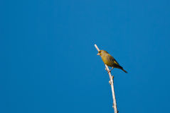 Greenfinch su un ramo Fotografia Stock