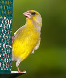 Greenfinch in summertime Stock Photography