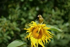 Greenfinch on sunflower. European Greenfinch (Chloris chloris) sits on sunflower Royalty Free Stock Images