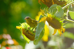 Greenfinch And Sunflowers Stock Image