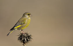Greenfinch on a Thistle. A greenfinch is perching on a thistle stock photography
